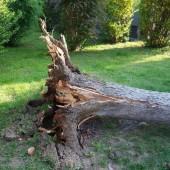Powalone drzewo podczas burzy